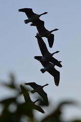 Autumn Flight (dhcomet) Tags: welwyn garden city herts hertfordshire goose canada geese flight 6 six