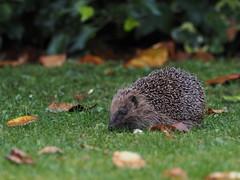 hedgehog (simonrowlands) Tags: hedgehog gardens parks woodlands