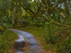 Sandy Fire Trail (surfcaster9) Tags: fireroad trees florida forest lumixg7 lumix25mmf17asph woods nature outdoors sand vines brush green outside