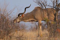 Kudu Antelope, male (leendert3) Tags: leonmolenaar southafrica krugernationalpark wildlife wilderness wildanimal nature naturereserve naturalhabitat mammals antelope kudu ngc npc