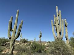 Lost Dutchman State Park, Arizona (Sharon Hahn Darlin) Tags: cacti cactus
