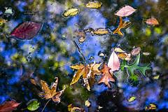 ... falling leaves 🍁 🍂🍃 (mariola aga) Tags: autumn fall pond water surface leaves falling closeup fallenhopes nature