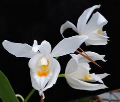 2019-10-09 Dendrobium formosum - BG Teplice (beranekp) Tags: czech teplice teplitz botanik botany botanic herbarium herbary herbář flora flower plant garden garten orchidea dendrobium