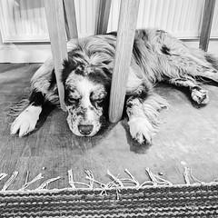 i'm so tired 🐾 Jamie (unbunt.me) Tags: iphone aussie hund australianshepherd vsco blackwhite bw dog hoffnungs blackandwhite