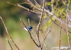 Black-throated Blue Warbler (Liam A. Hart) Tags: birds bird nature wildlife newjersey warbler migration