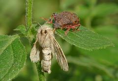 Photo of Spiked Shieldbug (Picromerus bidens)