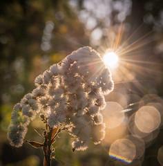 Nawłoć (puls*) Tags: goldenrod nawłoć światło light