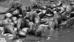 Asian Short Clawed Otters (Ben Wightman) Tags: chesterzoo otters asianshortclawedotter aonyxcinerea