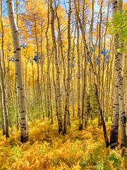 Colorado Aspens (Eric Zumstein) Tags: colorado ridgway unitedstatesofamerica fallcolor aspens trees aoi bestcapturesaoi