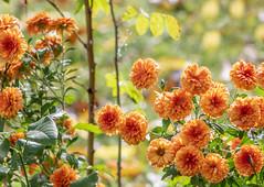 October Chrysanthemums (mahar15) Tags: autumn plant blooms flowers chrysanthemums flower outdoors mums october fall fallcolors nature