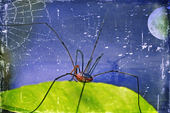 something haunting (1crzqbn) Tags: shocktober daddylonglegs halloween sliderssunday inmygarden textures spider arachnid macro moon