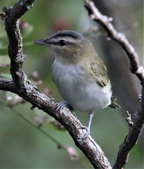 Red-eyed Vireo (Vireo olivaceus) 09-12-2019 Finzel Swamp--Field and Pond, Allegany Co. MD 1 (Birder20714) Tags: birds maryland vireos vireonidae vireo olivaceus