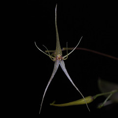 Lepanthes filamentosa (Thomas Ditlevsen) Tags: orchid orchids orquidea orquideas orchidspecies orchidaceae lepanthes lepanthesfilamentosa miniatureorchid
