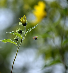 Met in the meadow (ElaR.) Tags: nature naturecomposition naturecolours naturebeauty flowers flowerbeauty bee insect meadow meadowplants meadowflowers meadownooks meadowcomposition meadowfantasy plants yellowflowers yellow nikon outside ngc