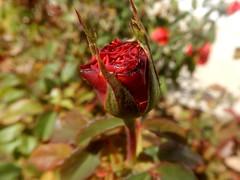 """Time is free but it's priceless..."" (fl_mala) Tags: roses redrose naturephotography naturelife naturelovers lovenature nature love life greece traveltogreece stayclosetonature"