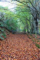 Autumn's golden path (Ian Robin Jackson) Tags: leaves autumn autumnal path seasonal scotland aberdeenshire trees sony zeiss