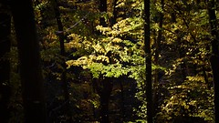 Carl Zeiss Planar 50mm f1.7 (gyulaiván) Tags: zeiss contrast contax colorfull color planar f17 50mm sony a6500 bükkhegység hungary leaves tree wood light shadow
