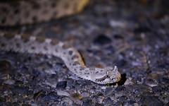 The Sidewinder Rattlesnake(Crotalus cerastes) (kevinclarke1969) Tags: rattlesnake sidewinder california desert snake reptile venomous