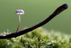 (skloi) Tags: pilze mushrooms fungi green grün wald forest wood moos moss