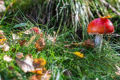 Autumn (kittimat62) Tags: herbst herbstimmung pilze pilz mushrooms fliegenpilz natur nature naturschutzgebiet niederrhein fungus canon eos60d