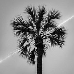 Palm Tree Jet Plane (Mabry Campbell) Tags: h5d50c hasselblad houston menil museumdistrict rothko texas usa unitedstatesofamerica blackandwhite image night nighttime palmtree photo photograph tree f45 mabrycampbell february 2017 february262017 20170226campbellb0001319 80mm 100sec 100 hc80 fav10