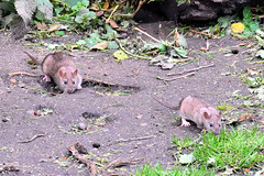 Photo of Rats