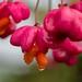 Pfaffenhütchen im Regen (Euonymus europaeus)