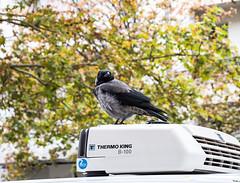 20191019-056 (sulamith.sallmann) Tags: tiere berlin corvus deutschland europa krähe mitte rabenvogel thermoking tier vogel wedding sulamithsallmann