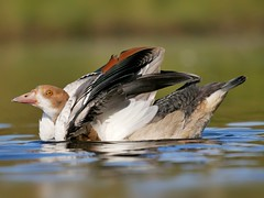 Egyptian goose (PhotoLoonie) Tags: goose duck egyptiangoose wildlife feathers nature bird waterbird