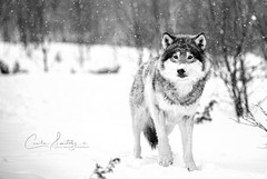 Winter wolf (CecilieSonstebyPhotography) Tags: norway bokeh markiii winter langedrag scandinaviangreywolf canon5dmarkiii fallingsnow snowbokeh canon wolf scandinaviangraywolf snow specanimal specanimalphotooftheday