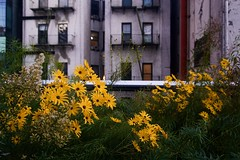Curious (yellow)  - The High Line, New York City (Andreas Komodromos) Tags: chelsea city cityscape closeup flowers grass green highline landscape macro manhattan newyork newyorkcity nyandreas nyc park portfolio urban usa window yellow architecture outdoors nopeople flower plant street exterior fireescape