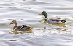 Mallards (mahar15) Tags: femalemallard duck wildlife nature waterfowl birds outdoors mallard ducks mallards