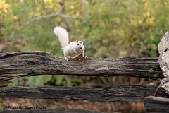 White Squirrel, Pisgah National Forest, NC (ChrisF_2011) Tags: wildlife pisgahnationalforest nature scenic whitesquirrel northcarolina fluffytail squirrel fence