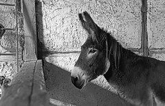 Florette (Terra Pixelis) Tags: nikond810 noiretblanc noirblanc animal âne bw blackwhite alsace hautrhin 68 écomusée u