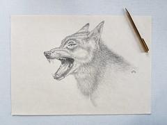 wolf (Mattijsje) Tags: wolf tryout study studie probeersel oefening potlood kwaad boos anger mouth bek boze tanden jaws sharp teeth ears drawing tekening
