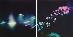 (Joann Edmonds) Tags: roidweek polaroidweek polaroid instantfilm polaroidoriginals color600 mintslr670x abstract floral diptych dark black pink blue
