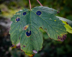 A message from Blind Pew (velodenz) Tags: velodenz fujifilmx100f bristolbathrailwaypath route cycleway sustrans leaf black spot blight plant nature natur naturephotography naturphotography outside outdoors dehors 1000 views 1000views