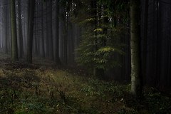 Teutonic Forest (Rense Haveman) Tags: eifel 2019 germany holidays pentaxkp rensehaveman tamron1024mmf3545 forest woodland trees autumn landscape sinister dark yellow green tree wideangle handheld pentaxart