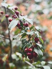 Fruit Nature Bokeh | 16. Oktober 2019 | Tarbek - Schleswig-Holstein - Deutschland (torstenbehrens) Tags: fruit nature bokeh | 16 oktober 2019 tarbek schleswigholstein deutschland olympus penf m45mm f18
