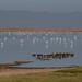 Flamingos wading in wetlands in Amboseli National Park