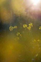 Atumn light (agnieszka.a.morawska) Tags: flower flowers nature pentacon beyondbokeh bokehlicious bokeh bkhq jesień fall atumn sunlight