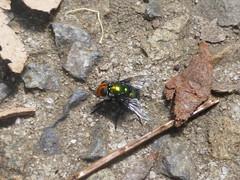 Little Emerald (tessab101) Tags: insect bug arthropods macro bluemountains australia amenia