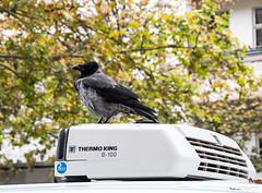 20191019-057 (sulamith.sallmann) Tags: tiere berlin corvus deutschland europa krähe mitte rabenvogel thermoking tier vogel wedding sulamithsallmann