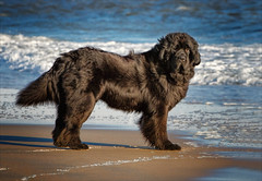Someone to Watch Over Me (Kathy Macpherson Baca) Tags: newfoundland dog water swim beach canine sweet world ocean lakes lifesaver earth sand planet mydog