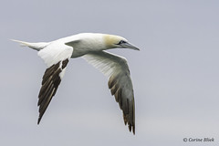 Northern Gannet (Corine Bliek) Tags: morusbassanus bird birds vogel vogels seabirds zeevogels nature natuur willdlife birdphotography naturephotography