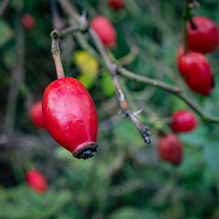 Hip (velodenz) Tags: velodenz fujifilmx100f bristolbathrailwaypath route cycleway sustrans hip berry fruit plant nature natur naturephotography naturphotography outside outdoors dehors