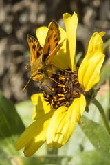 Fiery Skipper (Hylephila phyleus) 1 100419 (evimeyer) Tags: fieryskipper hylephilaphyleus altavicente ranchopalosverdes wildlifephotography