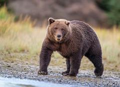 Bruin Bruiser... (DTT67) Tags: bear nature alaska canon wildlife grizzlybear lakeclark coastalbrownbear canon1dxmkii 1dxmkii