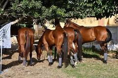 equestrian (8)