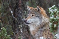 Wolf (tomsvensen) Tags: 2019 langedrag ulv årstall tunhovd buskerud norway
